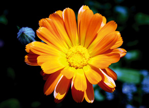 Природные кристаллы лютеина, применяемого в производстве ЦЕПАСТ10, получают из высушенных цветков календулы, лепестки которой богаты желто-оранжевым каротиноидом.