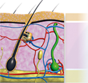 Skin acts as an envelope for our body. It consists of three layers